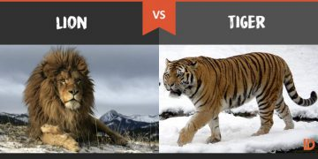 Is LION really the KING of the jungle?