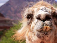 quality content llama